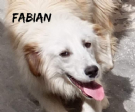 fabian splendido incrocio golden